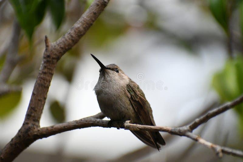 Anna Hummingbird na gałąź zdjęcia royalty free