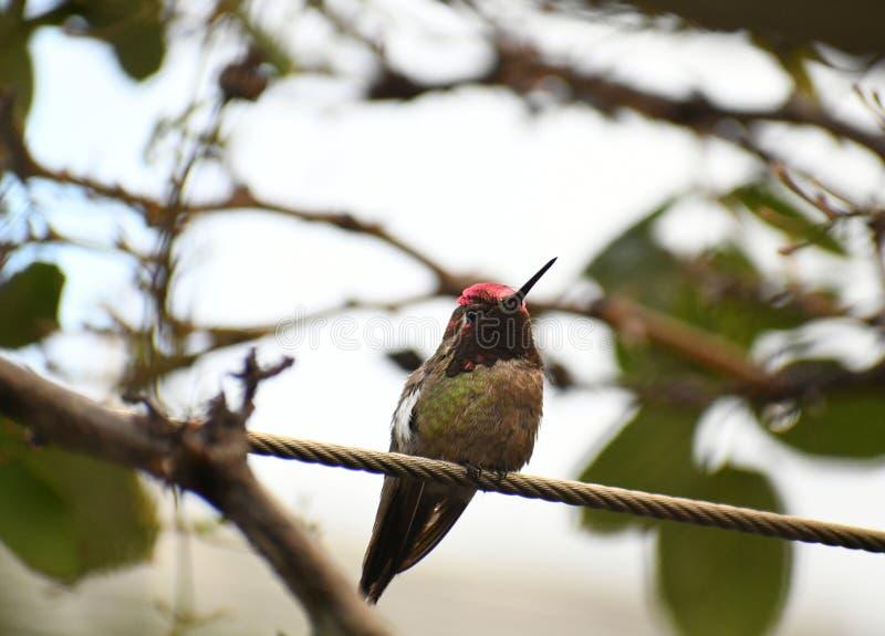 Anna Hummingbird na gałąź zdjęcia stock