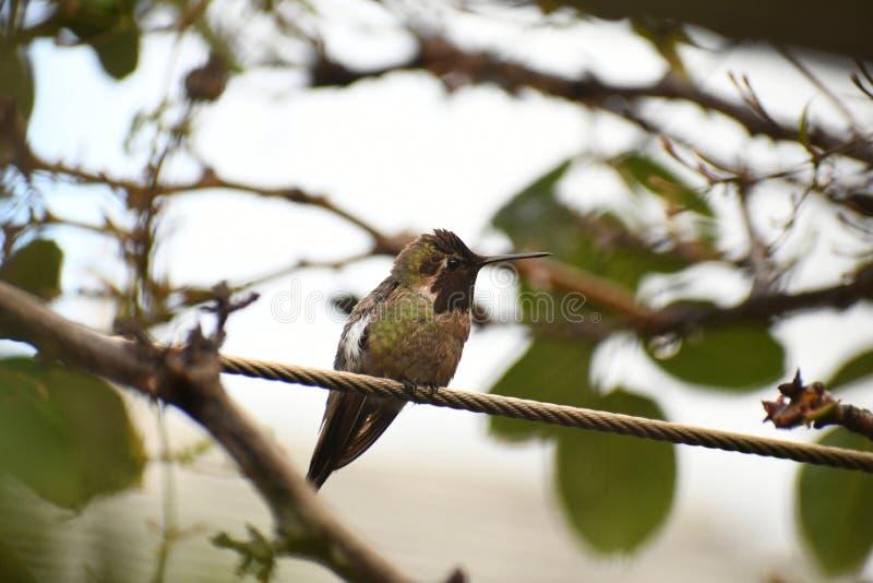 Anna Hummingbird na gałąź obrazy royalty free
