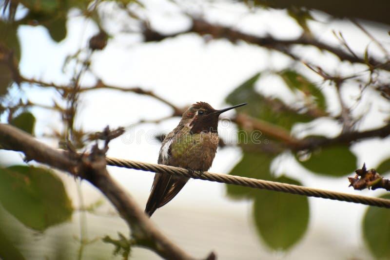 Anna Hummingbird na gałąź fotografia stock