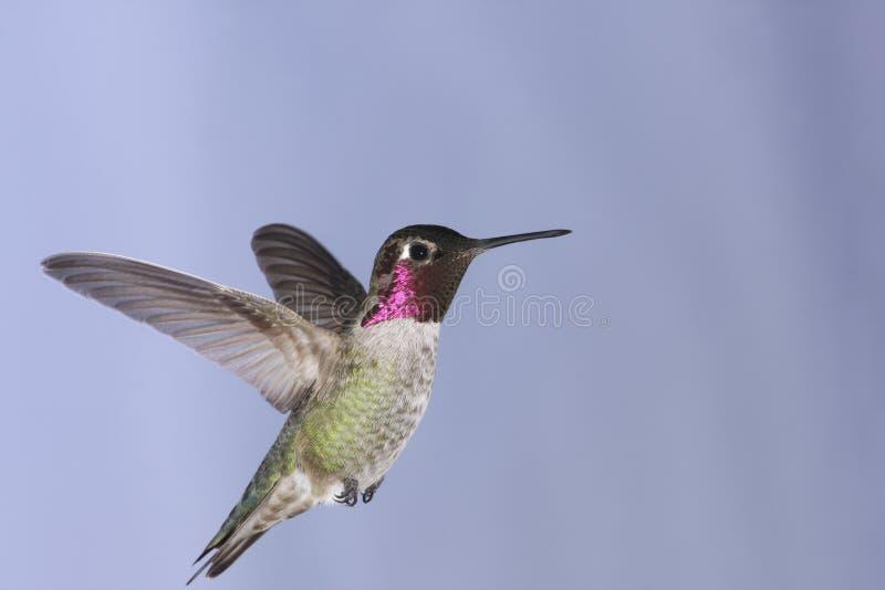 anna hummingbird s royaltyfria bilder