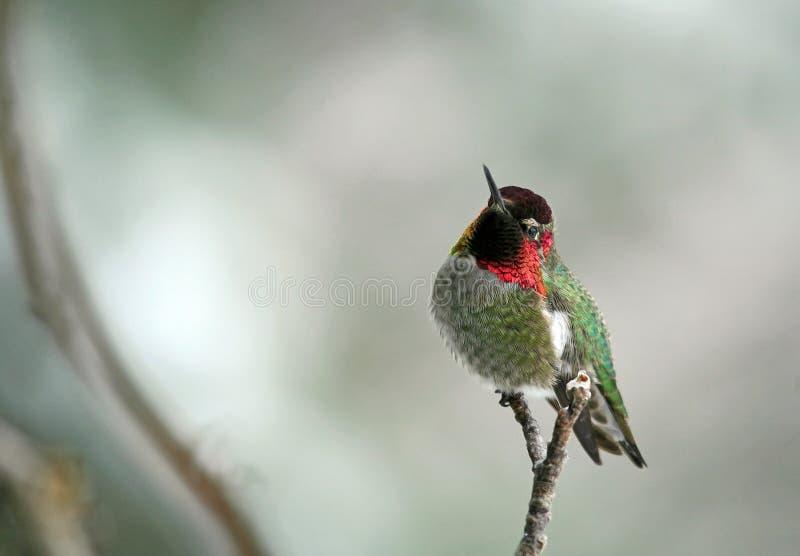 anna hummingbird s fotografering för bildbyråer