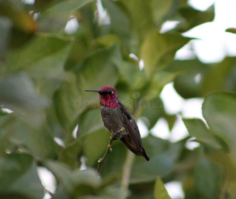 anna hummingbirdmanlig s royaltyfri fotografi