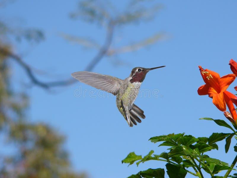 Anna Kolibrie stock afbeeldingen