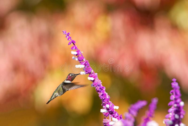 Anna kolibrie het drinken van purpere Mexicaanse Salie royalty-vrije stock afbeeldingen