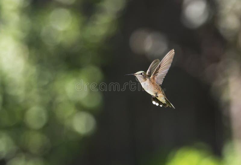 Anna ` s Hummingbird zdjęcia stock
