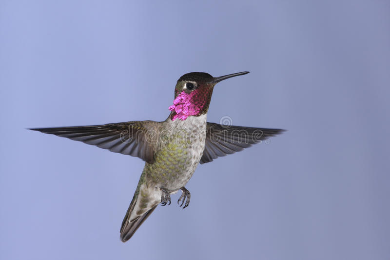 Anna's Hummingbird royalty free stock images