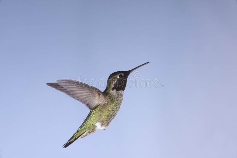 Anna's Hummingbird royalty free stock photo