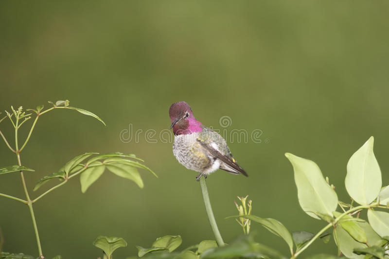 Anna's Hummingbird stock photography