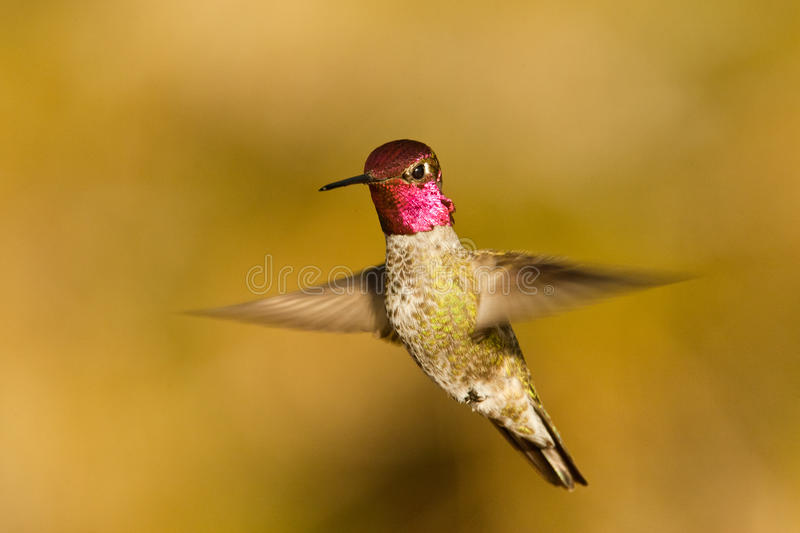 Anna's Hummingbird. Full Body View of Adult Male Anna's Hummingbird Hovering in Flight stock photography