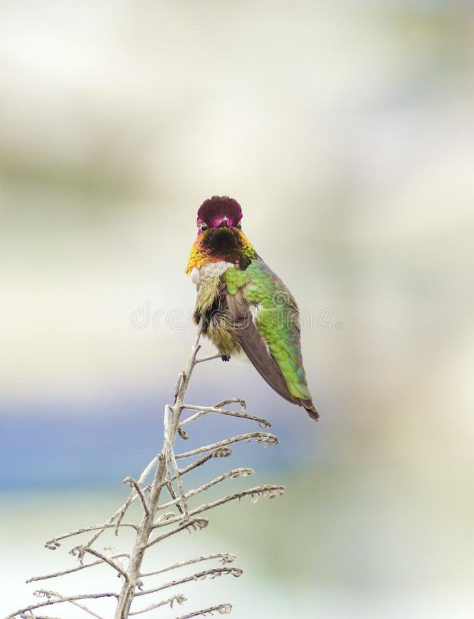 Free Anna S Hummingbird Royalty Free Stock Image - 44065996
