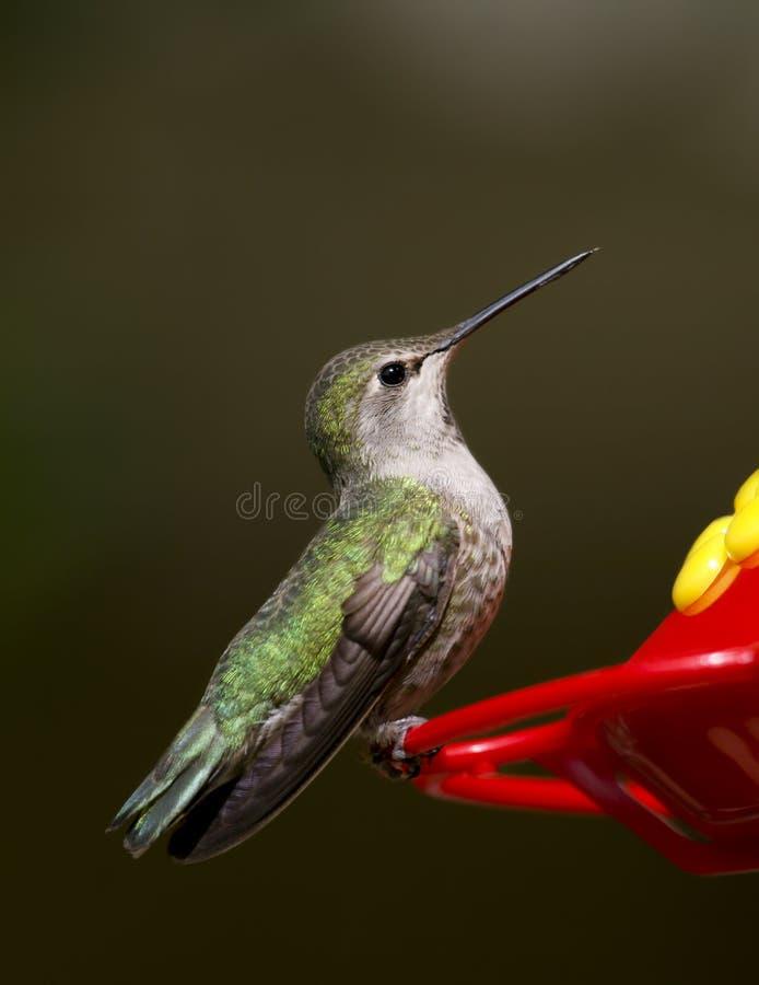 Anna's Hummingbird royalty free stock photography
