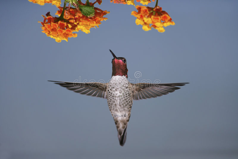 Anna's Hummingbird. A male Anna's Hummingbird hovering near orange colored flower blossoms stock images