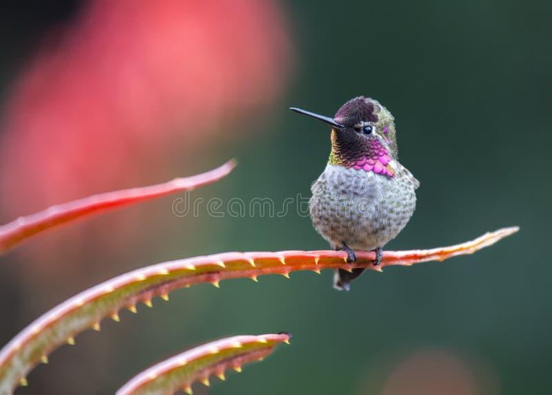 Anna ` s Hummingbird Calypte Anna obrazy royalty free