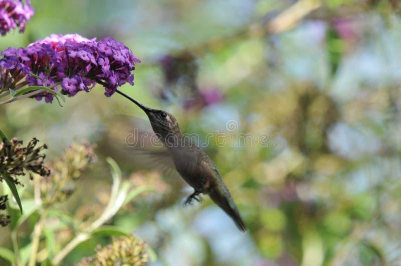 Anna`s Hummingbird Calypte anna Flying while Drinking Nectar from Butterfly Bush. Buddleia davidii `Twilight stock photos