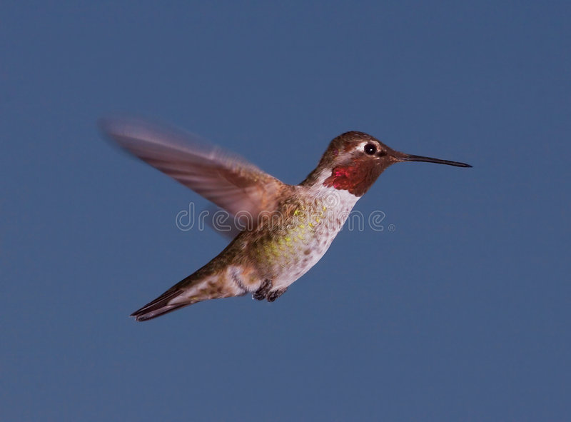 Anna's Hummingbird at Dusk stock photography