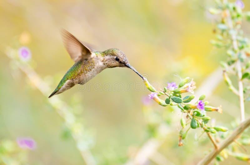 Annas Hummingbird feeding on Sage Flowers stock images