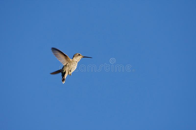 Anna`s hummingbird hovers against the deep blue sky stock photos
