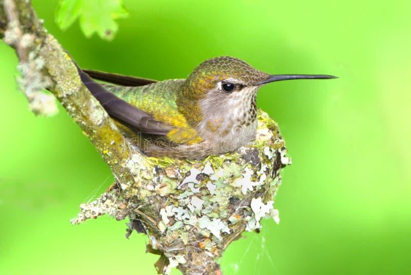 Annas Hummingbird Sitting on Eggs stock photo