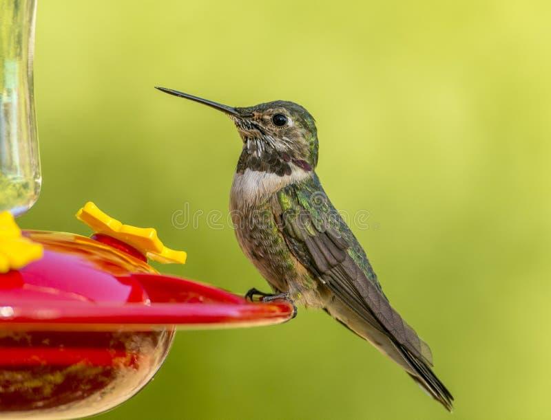 Anna`s Hummingbird royalty free stock photo