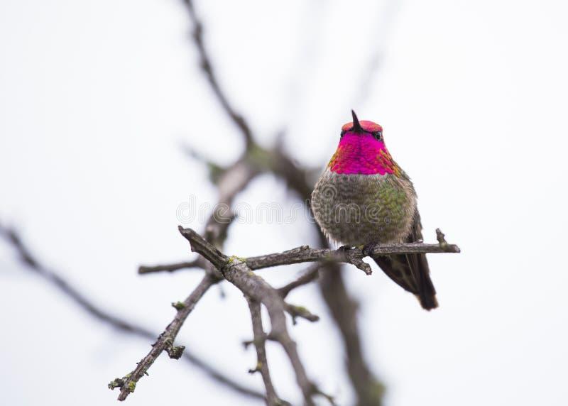 Anna ` s Kolibrie Calypte anna royalty-vrije stock fotografie