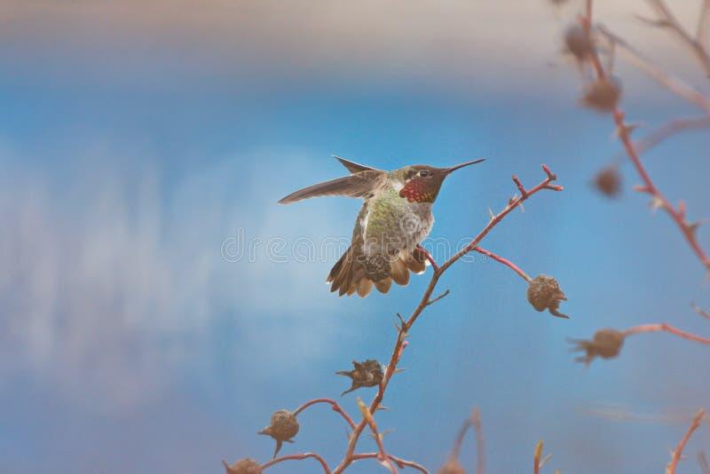 Anna ` s Kolibrie Calypte anna royalty-vrije stock foto