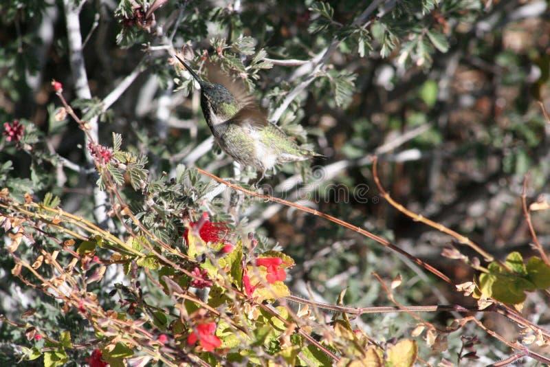 Anna ` s Kolibrie Calypte anna royalty-vrije stock afbeeldingen