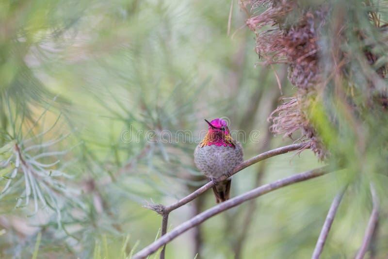 Anna ` s Kolibrie Calypte anna, Volwassene, Mannetje, Santa Cruz, Californië, de V.S. royalty-vrije stock foto