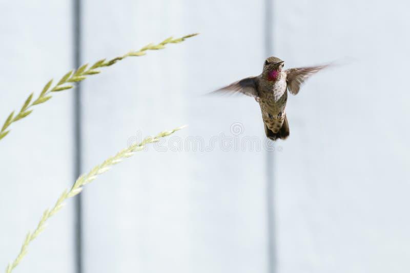 Anna ` s Kolibrie dichtbij Binnenplaatsinstallaties royalty-vrije stock fotografie