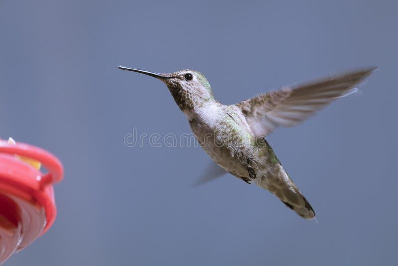 Anna ` s Kolibrie dichtbij Binnenplaatsinstallaties royalty-vrije stock foto's