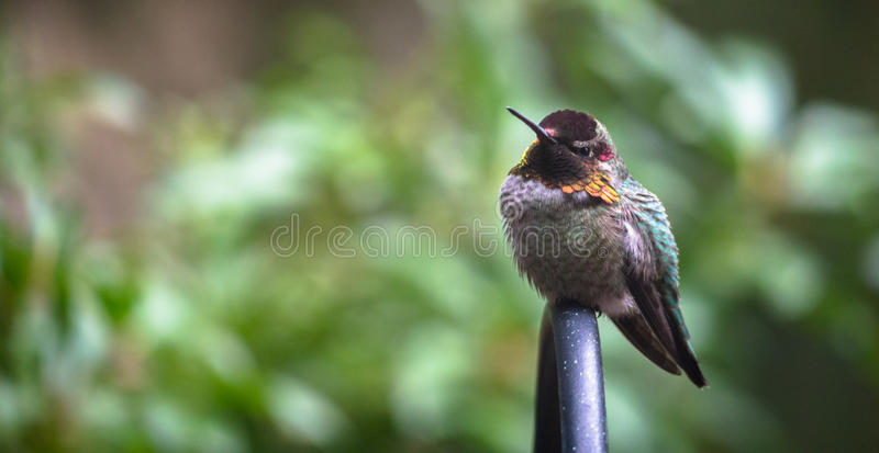Anna ` s kolibrie die warm in de Winter proberen te blijven royalty-vrije stock afbeeldingen