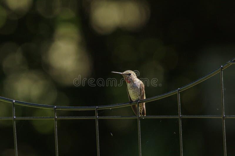 Anna ` s Kolibrie op een Draadomheining royalty-vrije stock afbeelding