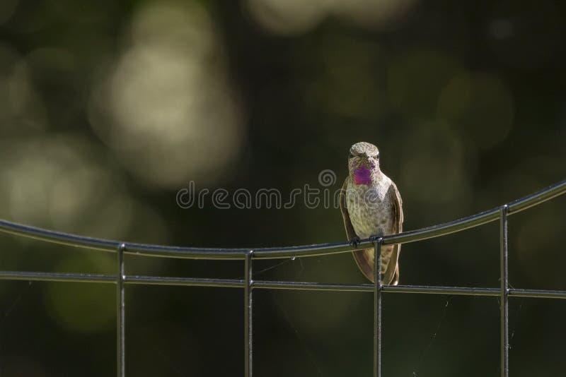 Anna ` s Kolibrie op een Draadomheining royalty-vrije stock fotografie