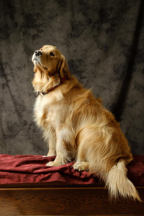 Annabelle, Golden retriever en therapiehond stock fotografie