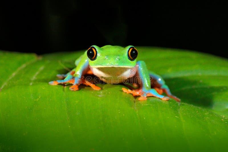 Annae de Agalychnis, rã Dourado-eyed na licença, Costa Rica da rã de árvore, a verde e a azul Cena dos animais selvagens da selva imagem de stock royalty free