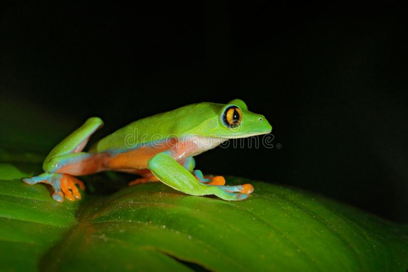 Annae de Agalychnis, rana De oro-observada en licencia, Costa Rica de la rana arbórea, verde y azul Escena de la fauna de la selv fotos de archivo libres de regalías