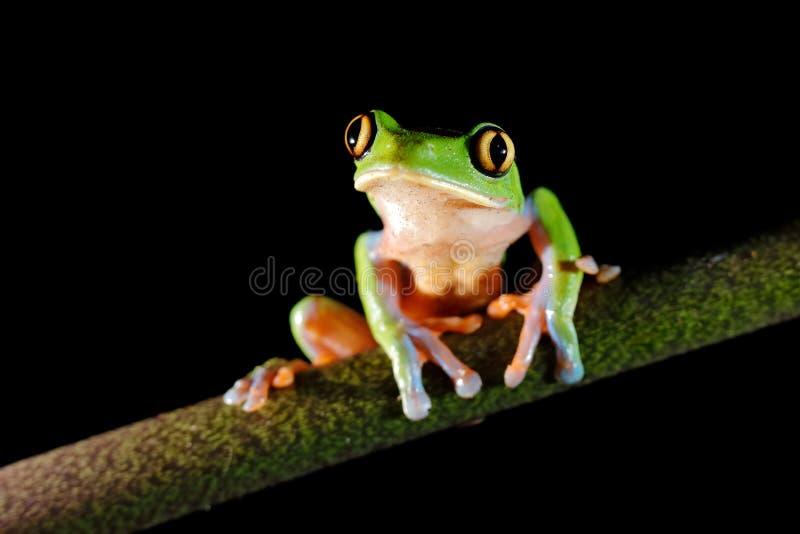 Annae de Agalychnis, rana De oro-observada en licencia, Costa Rica de la rana arbórea, verde y azul Escena de la fauna de la selv imágenes de archivo libres de regalías