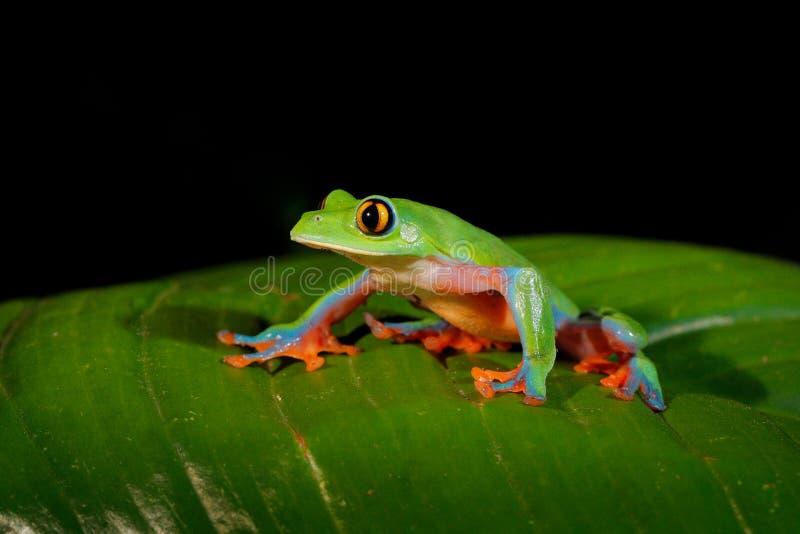 Annae de Agalychnis, rana De oro-observada en licencia, Costa Rica de la rana arbórea, verde y azul Escena de la fauna de la selv fotografía de archivo libre de regalías