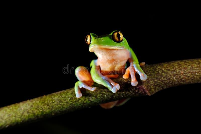 Annae de Agalychnis, rana De oro-observada en licencia, Costa Rica de la rana arb?rea, verde y azul Escena de la fauna de la selv imagen de archivo libre de regalías