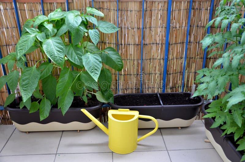 Annaffiatoio del metallo giallo sul balcone accanto alle piante di pomodori e del pepe in contenitori di fiore fotografie stock libere da diritti