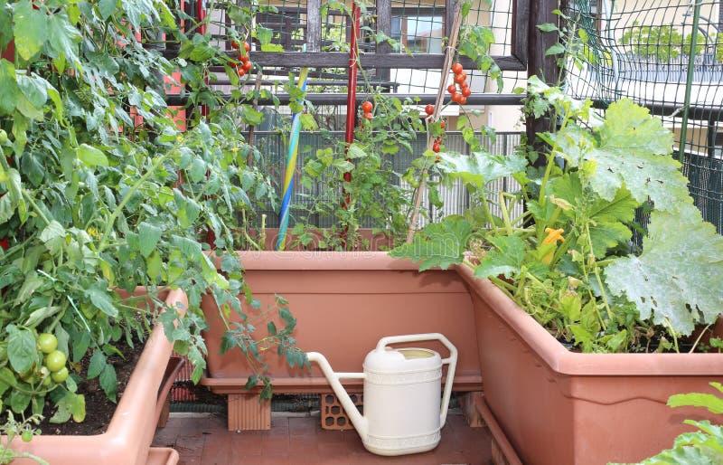 Annaffiatoio e vasi con le piante dei pomodori rossi in GA urbano fotografie stock libere da diritti
