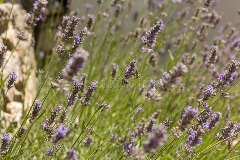 Annalkande honung för bi i ett lavendelfält royaltyfria foton