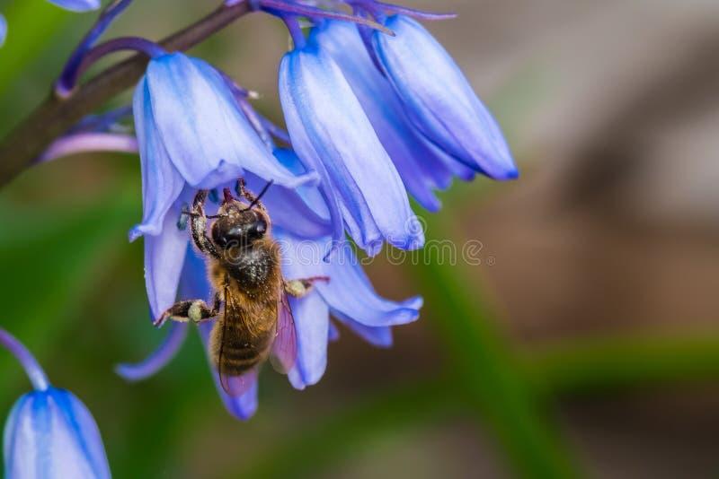 Annalkande nektar för bi från blåklockor fotografering för bildbyråer