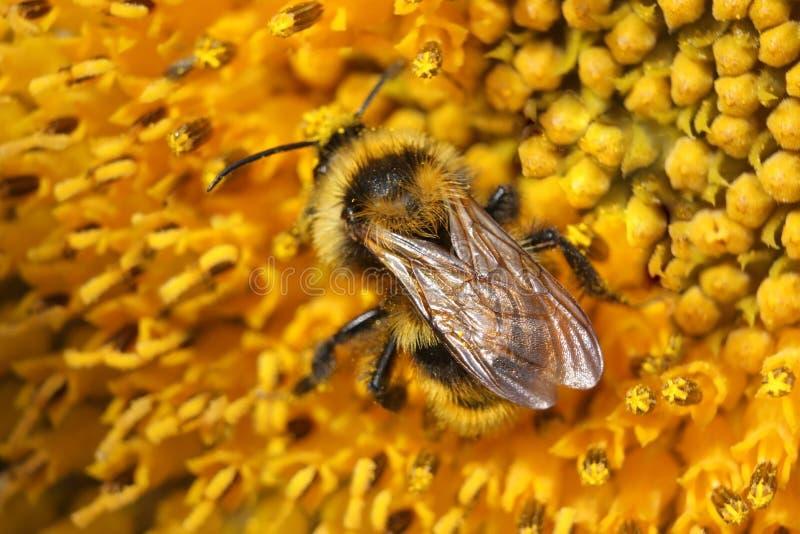 Annalkande nektar för humla på solros—makro royaltyfri fotografi