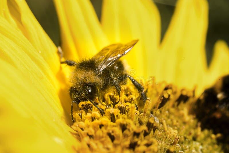 Annalkande pollen för humla arkivfoton