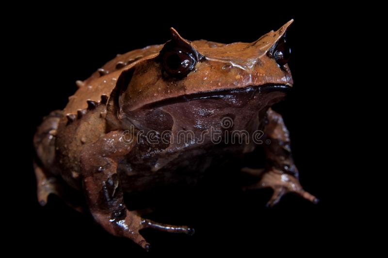 Download Annam Spadefoot Toad On Black Stock Image - Image of isolated, amphibian: 101763101
