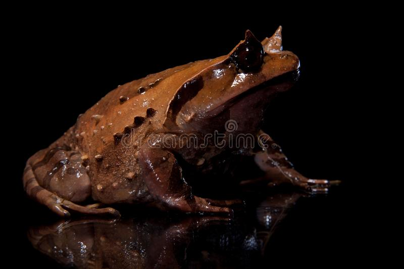 Annam spadefoot toad on black. Annam spadefoot toad, brachytarsophrys intermedia, isolated on black background royalty free stock images