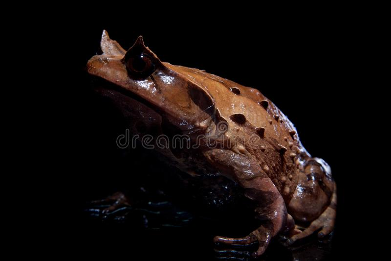 Annam spadefoot toad on black. Annam spadefoot toad, brachytarsophrys intermedia, isolated on black background stock images