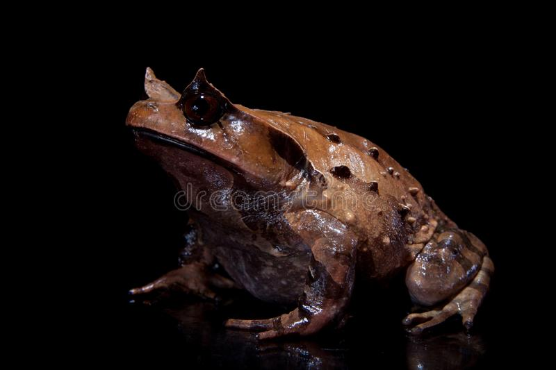 Annam spadefoot toad on black. Annam spadefoot toad, brachytarsophrys intermedia, isolated on black background royalty free stock image