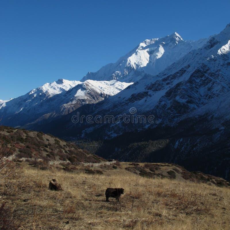 Annapurna två och betande yaks royaltyfria foton